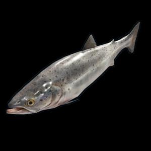 RUST Salmon