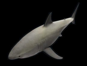 RUST Small Shark
